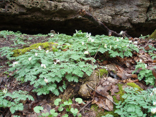 Feathery green clumps of Dutchman's Breeches (Dicentra cucullaria) covered the sides of ravines, especially near rock outcrops, in Glen Helen. [Photo by a blind flaneur]