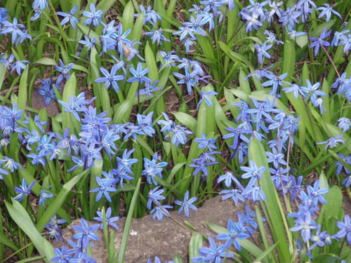 Scylla bloom in a lawn near Lake Ontario in historic  Oakville. [Photo by Ms. Modigliani]