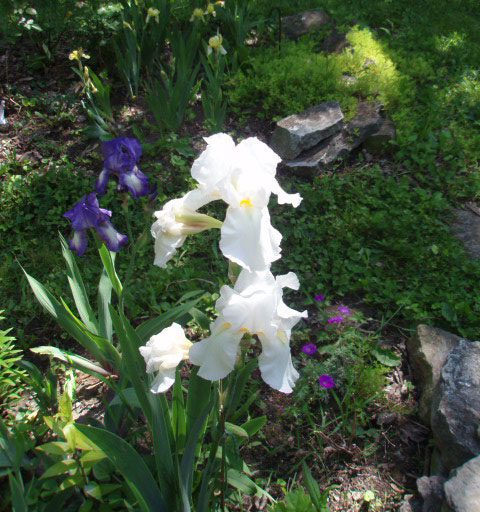 White iris. [Photo by a blind flaneur]