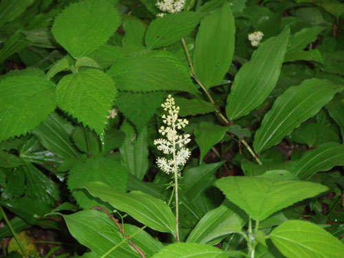 Solomon's seal (Polygonatum) blooms in the Glen beginning in mid-May. [Photo by a blind flaneur]