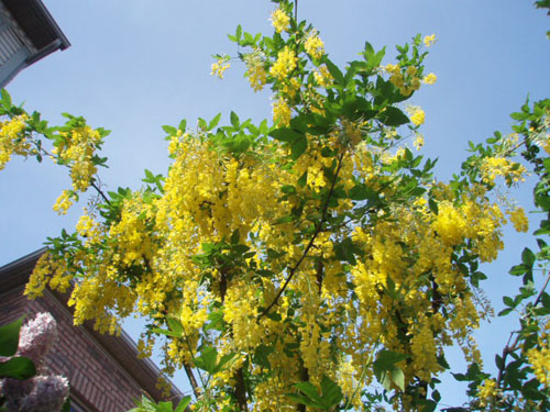 Laburnum, the Golden Chain Tree, blooms spectacularly in Ms. Modigliani's garden on her birthday. [Photo by a blind flaneur]