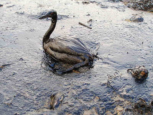 This seabird was oiled in a Black Sea spill in 2006. It could be a harbinger of what's about to happen in the Louisiana coastal wetlands. [Photo by Igor Golubenkov/Flickr]