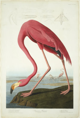 "Robert Havell after John James Audubon. American Flamingo. 1838. Hand-colored etching and aquatint on Whatman paper plate from ""The Birds of America"" [Source: National Gallery of Art, Washington, D.C.]"