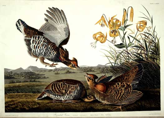 Pinnated Grouse, Plate 186 from John James Audubon's The Birds of America. Source: Ewell Sale Stewart Library/Academy of Natural Sciences]