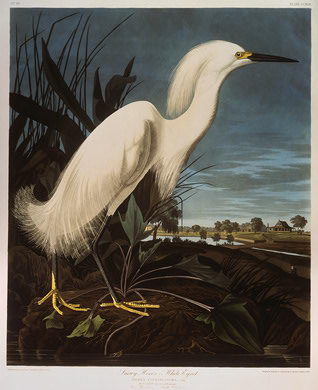 "Robert Havell after John James Audubon. Snowy Heron, or White Egret. 1835. Hand-colored etching and aquatint on Whatman paper plate from ""The Birds of America"" [Source: National Gallery of Art, Washington, D.C.]"