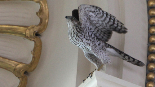 A Cooper's hawk somehow found its way into the Library of Congress in Washington, D,C,. [Photo by Abby Brack/Library of Congress/NPR]