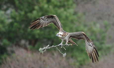 Lady, believed to be the oldest osprey in the world and mother to 48 birds, nesting in the Highlands. [Source: Russell Cheyne/Reuters/Guardian.com]
